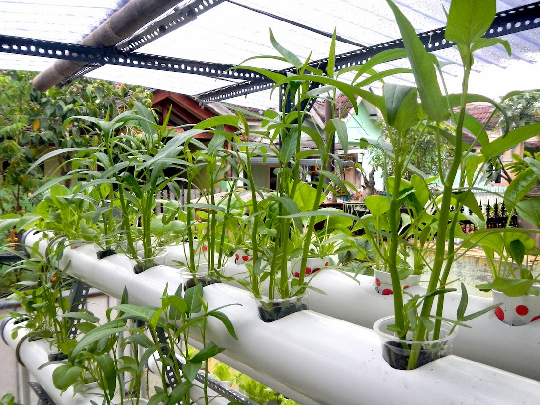 Hidroponik Sayuran Kangkung Tanaman Kangkung Hidroponik