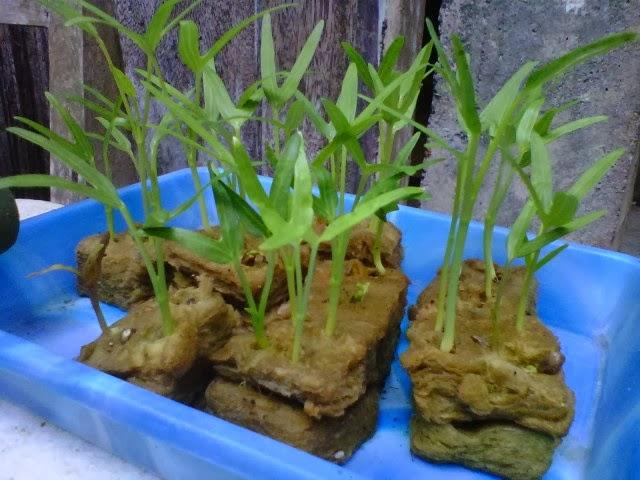 Hidroponik Sayuran Kangkung Penanaman Kangkung Hidroponik
