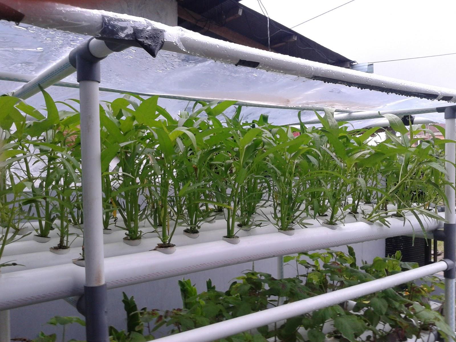 Hidroponik Sayuran Kangkung Sayuran Kangkung Tentu Bukan